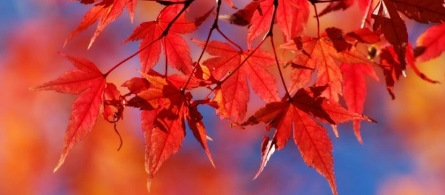 red-maple-leaves-copia